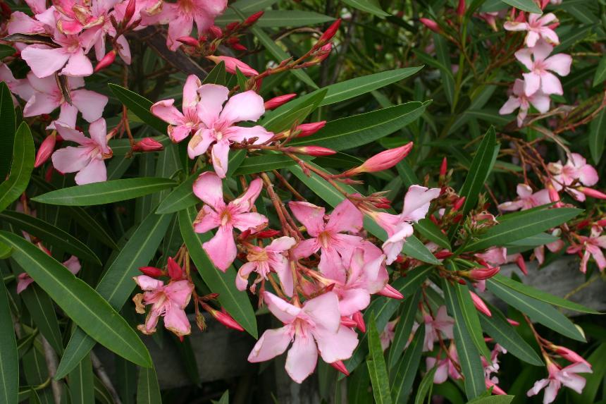 flora of new zealand weed profile nerium oleander. Black Bedroom Furniture Sets. Home Design Ideas