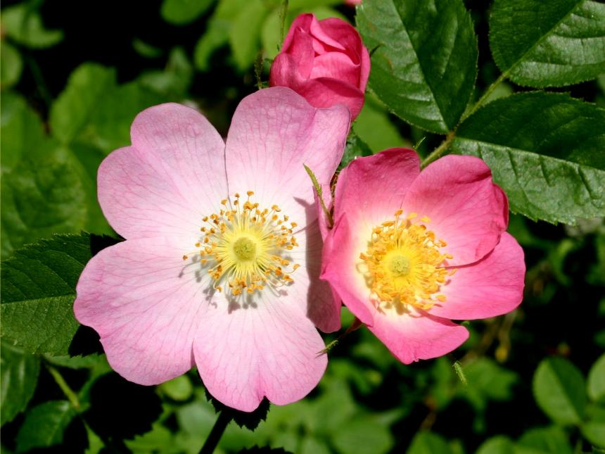 flora of new zealand weed profile rosa rubiginosa. Black Bedroom Furniture Sets. Home Design Ideas
