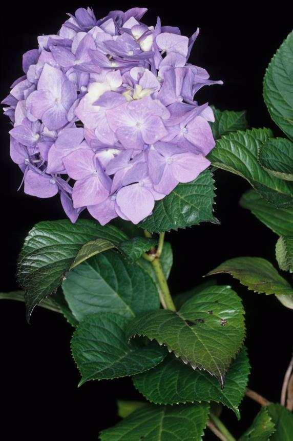 Flora Of New Zealand Taxon Profile Hydrangea Macrophylla