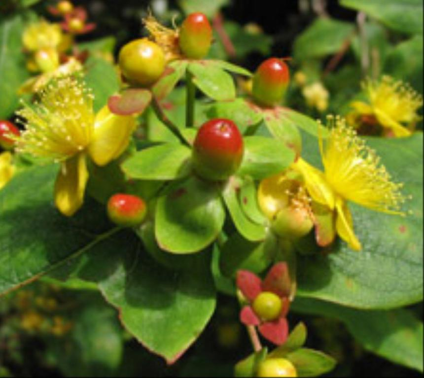 flora of new zealand taxon profile hypericum androsaemum. Black Bedroom Furniture Sets. Home Design Ideas